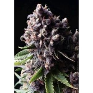 Auto Purple auto 1 seme Pyramid Seeds