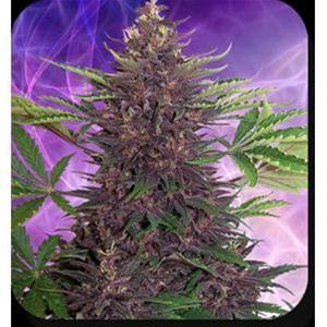 Purple Kush Auto 5