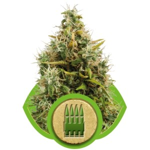 Royal Queen Seeds Royal AK Auto 3