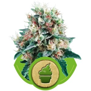 Royal Queen Seeds Royal Creamatic Auto 3