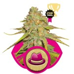 O.G. Kush FEM 3 semi Royal Queen Seeds