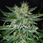 Sugar Black Rose Fast Indica Fem 1