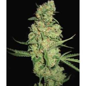 PYRAMID SEEDS GALAXY Fem 1