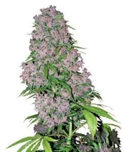 Purple Bud Fem 3