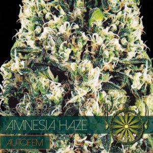 Amnesia Haze Auto 5
