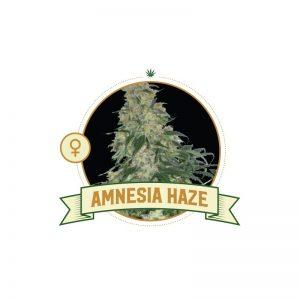 Amnesia Haze Fem City